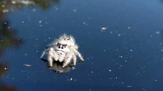 Download A very friendly spider. Video
