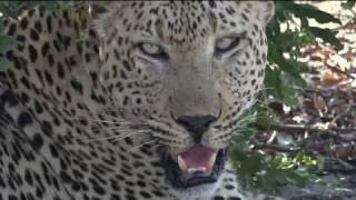 Download Safari Live : Anderson Male Leopard as seen on drive this afternoon Oct 11, 2016 Video