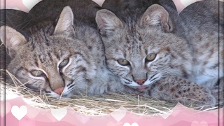 Download Baby Bobcat Love Video