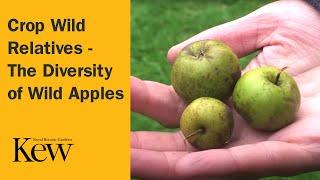 Download Crop Wild Relatives - The Diversity of Wild Apples Video