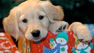 Download Christmas PUPPY SURPRISE [Funny Pets] Video