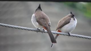 Download Nikon Coolpix B700 Red whiskered Bulbul Video