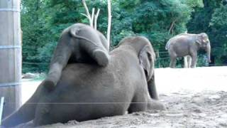 Download Cute baby elephant rides his mother Video