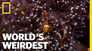 Download Anemone Killer Fish Traps   World's Weirdest Video