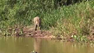 Download ″Mick Jaguar″ Goes Hunting in the Pantanal, Brazil Video