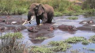 Download Elephant and Hippo's Video