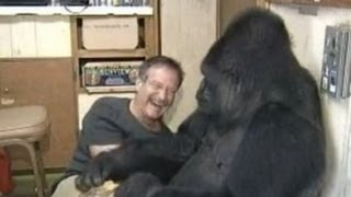 Download Koko the Gorilla meets Robin Williams Video