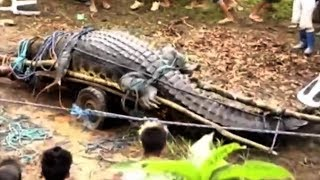 Download 5 Biggest Crocodiles In The World! Video