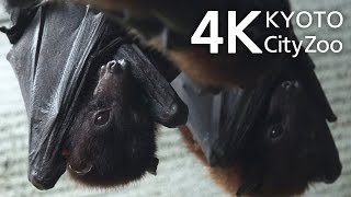 Download Bat コウモリ 京都市動物園 4K 動画 Kyoto Japan FDR-AX100 Video
