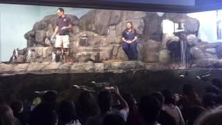 Download Penguin feeding at Monterey Bay Aquarium Video