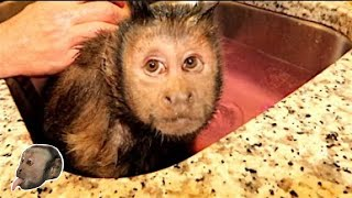 Download Capuchin Monkey Bath Fizzy! Video