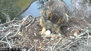 Download Great Horned Owl feeding and first egg, 23 January, 2016 Video