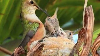 Download The Life of a Momma Hummingbird Video