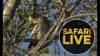 Download safariLIVE - Sunrise Safari - 2018, 19. June Video