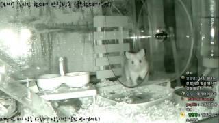 Download [모찌Live/햄스터] 실시간 햄스터 관찰 방송 Hamster Live #16-12-18 Video