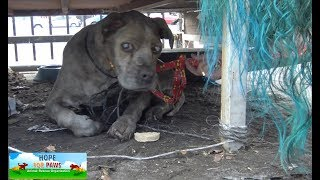 Download Senior blind Pit Bull waited his whole life for this rescue! Video