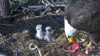 Download AEF - DC EAGLE CAM 🐣🐣 HILARIOUS!!! TINY EAGLETS FIGHTING Video