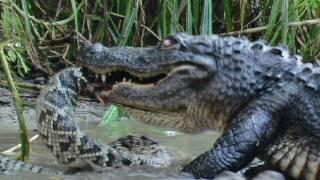 Download Florida's Venomous Snakes 10/10 - Diamondback Rattlesnake Video