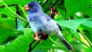 Download Sporophila Intermedia - Gray Seedeater - Mochuelo Pico Maiz Video