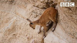 Download Baby ibex's dramatic decent - Planet Earth II: Mountains Preview - BBC One Video