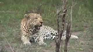 Download A Nice Look at the Anderson Male Leopard November 26, 2015 Video