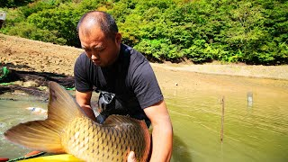Download Giant koi fish | Amazing jumbo koi carp | Tancho Showa mudpond harvest Video