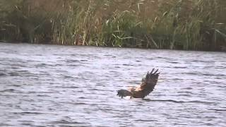 Download Marsh Harrier & a Long Tailed Duck - RSPB Leighton Moss Video