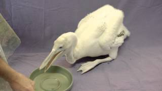 Download Pelican Chick Growing Crazy Fast Video