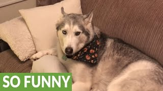 Download Vocal Husky denies ″pooping″ on the carpet Video