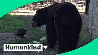 Download Cat wanders into zoo's bear exhibit and this happened Video