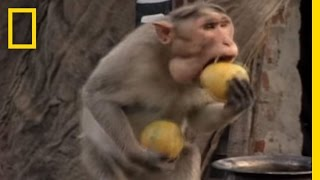 Download Monkey Thieves Raid People's Homes | National Geographic Video