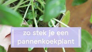 Download Pannenkoekplant Stekken - Super Groene Vingers Video
