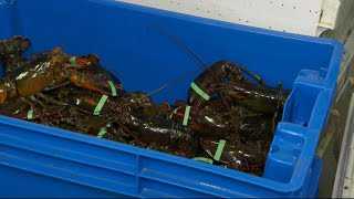 Download Lobster industry feeling impact of U.S.-China trade war Video