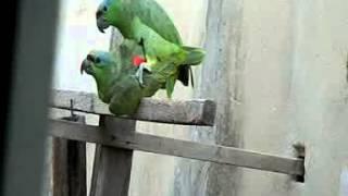 Download Papagaios Louro e Bela acasalando Video