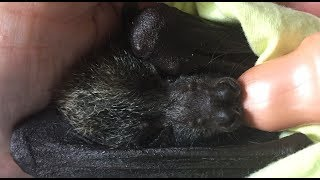 Download Baby bat goes into a milk coma: this is Sassafras Video