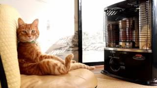 Download 反射式石油ストーブの前の猫2017 Cat to warm by a heater 170116 Video