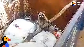 Download Baby Raccoons Trapped In Dumpster Get Help From A Stranger | The Dodo Video