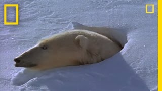 Download Polar Bear Mom and Cubs | National Geographic Video