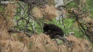 Download Fuzzy Bear Cubs Play In The Tree-Tops - Natural World: The Last Grizzly Of Paradise Valley - BBC Two Video