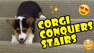 Download CORGI CONQUERS 163 STAIRS DESPITE SHORT LEGS - Life After College: Ep. 511 Video