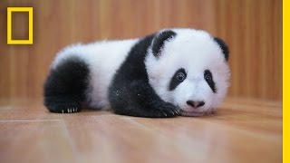 Download Raising Cute Pandas: It's Complicated | National Geographic Video