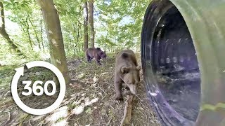 Download Grizzly Bears: Up Close and Personal | Project Grizzly (360 Video) Video