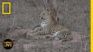 Download Safari Live - Day 261 | National Geographic Video