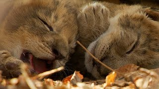 Download Lioness Cuddles Newborn Cubs | BBC Earth Video