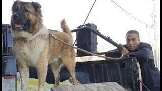 Download هكذا يتم تحميل كلب القوقازي الضخم بيل عمر سنتين مع جمال العمواسي Video