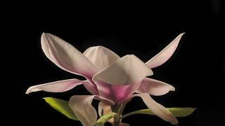 Download Magnolia Bethany flower opening time lapse Video
