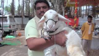 Download Bannur Sheep Breeds in Demand Video