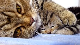 Download Mom Cat talking to her Cute Meowing Kittens | Generation ″P″ Video