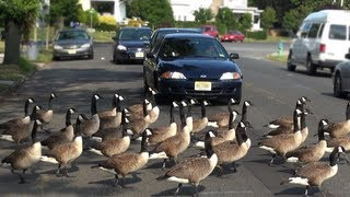 Download CRAZY CANADA GEESE Video