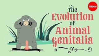 Download The evolution of animal genitalia - Menno Schilthuizen Video